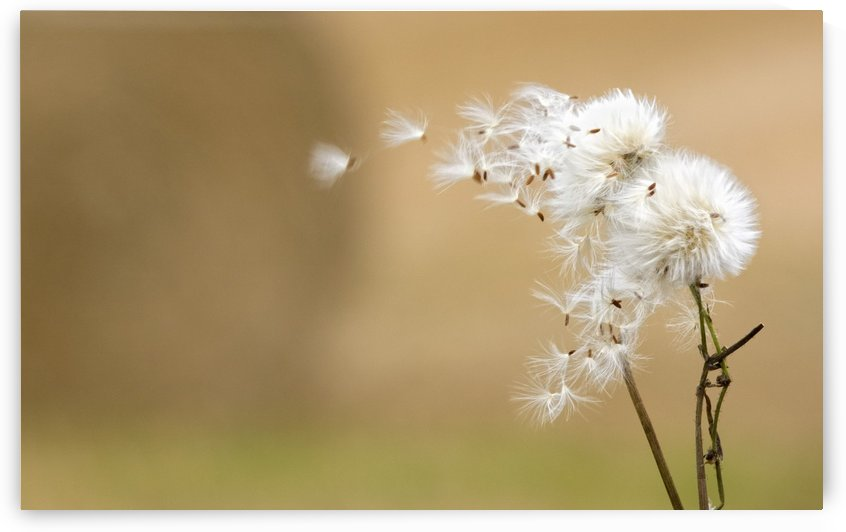 Dandelion Fluff by PacificStock