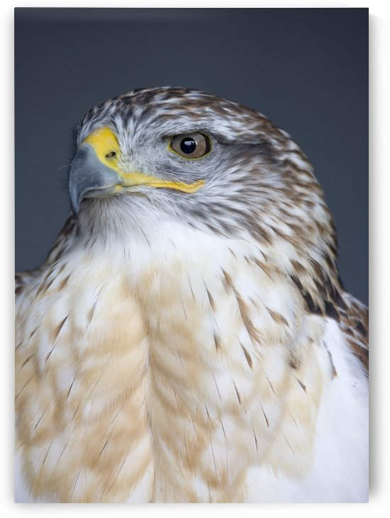 Ferruginous Hawk (Buteo Regalis) by PacificStock