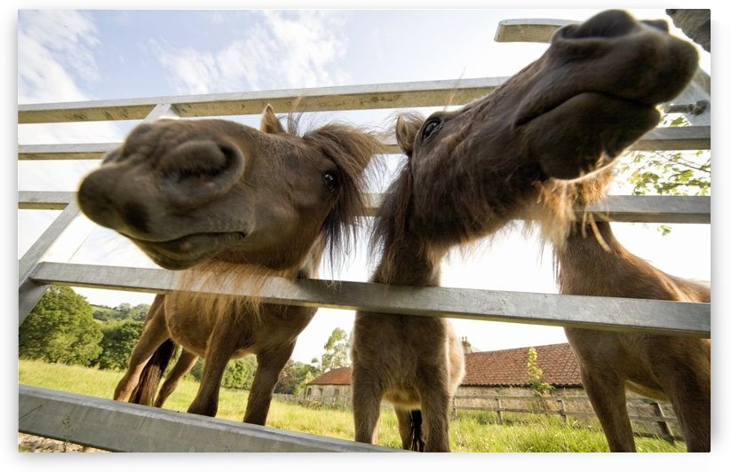 North Yorkshire, England; Horses Looking Through Fence by PacificStock