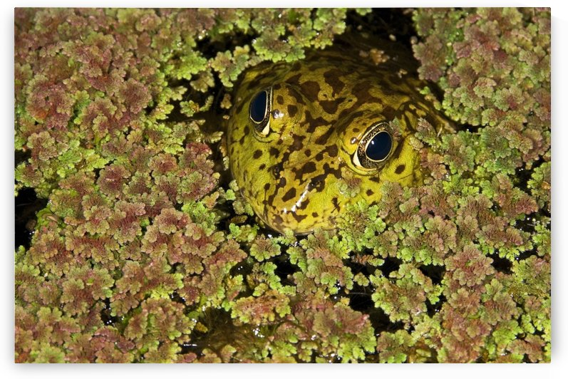 American Bullfrog (Rana Catesbeiana), California, Usa ; Bullfrog Hiding In Duckweed by PacificStock