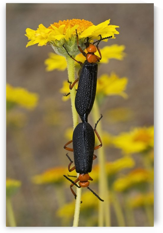 Blister Beetles Mating On Brittlebush Flowers by PacificStock