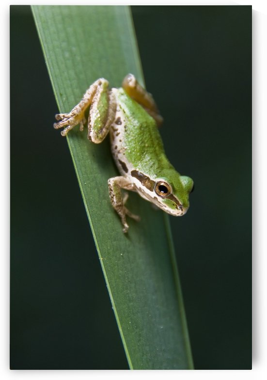 Pacific Tree Frog (Pseudacris Regilla); Sitting On A Reed by PacificStock