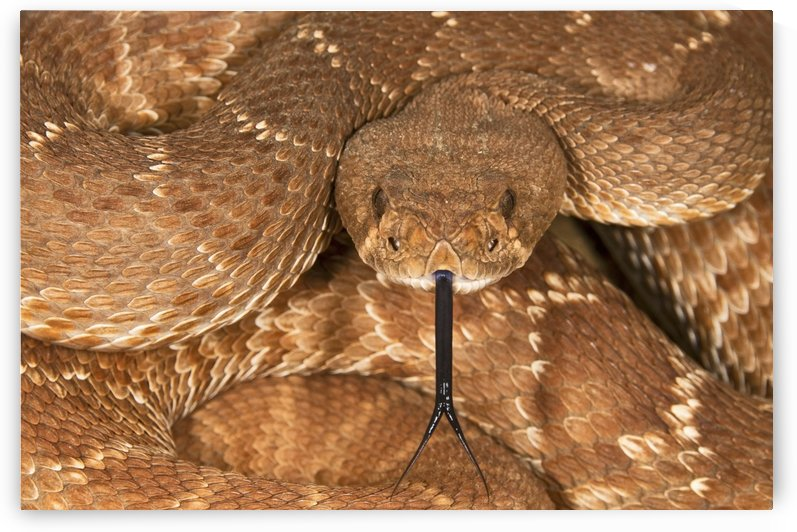A Defensive Red-Diamond Rattlesnake (Crotalus Ruber) by PacificStock