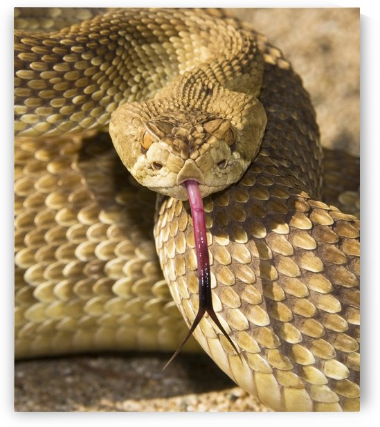 A Defensive Mojave Green Rattlesnake (Crotalus Scutulatus) by PacificStock