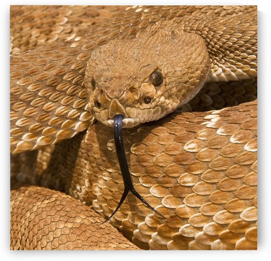 Red-Diamond Rattlesnake(Crotalus Ruber), Riverside County, California, Usa; Rattlesnake Posturing Defensively by PacificStock