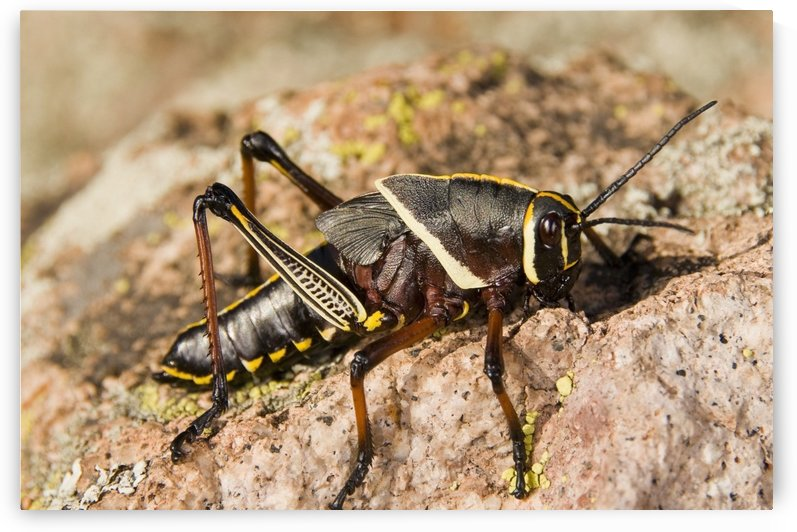 A Colorful Lubber Grasshopper (Brachystola Magna) Walking On A Boulder by PacificStock