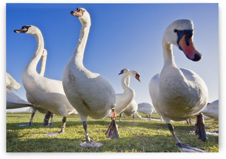 Swans In A Field by PacificStock
