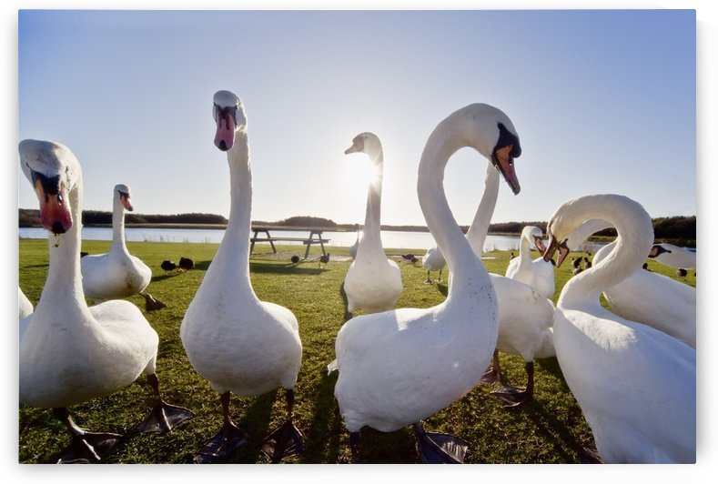 Swans Outdoors by PacificStock