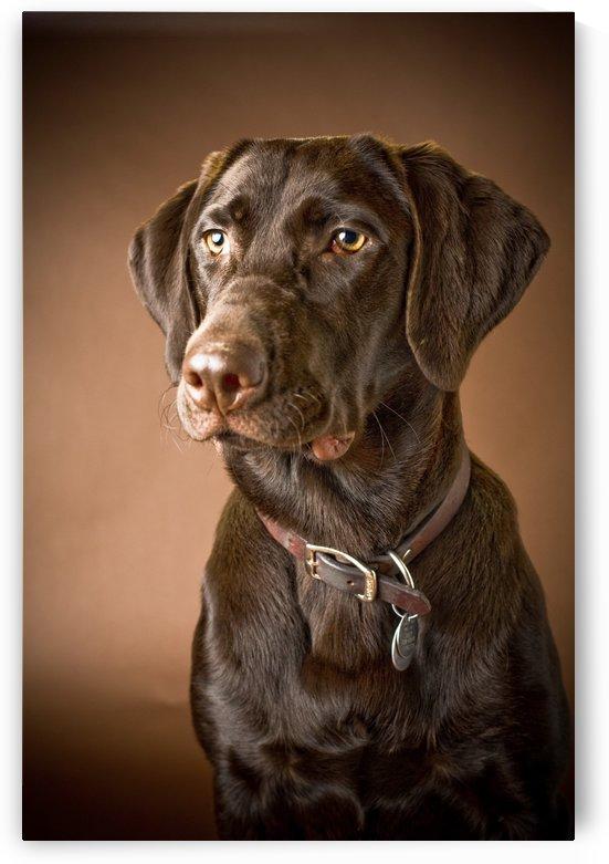 Chocolate Labrador Retriever; Portrait Of A Labrador by PacificStock