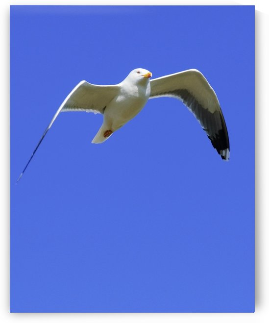 Seagull In Flight by PacificStock