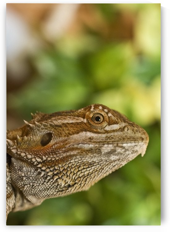 Bearded Dragon Lizard by PacificStock