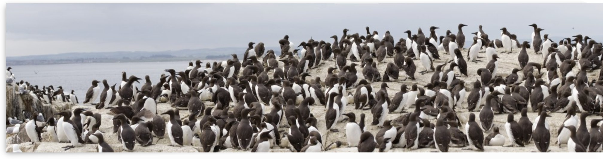 Northumberland, England; Flock Of Guillemot by PacificStock