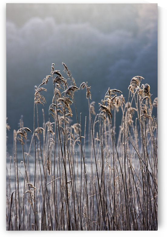 Frozen Reeds At The Shore Of A Lake, Cumbria, England by PacificStock