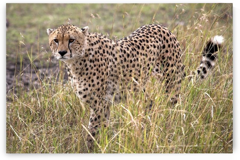 Cheetah (Acinonyx Jubatus), Masai Mara National Reserve, Kenya, Africa; Cheetah On The Prowl by PacificStock