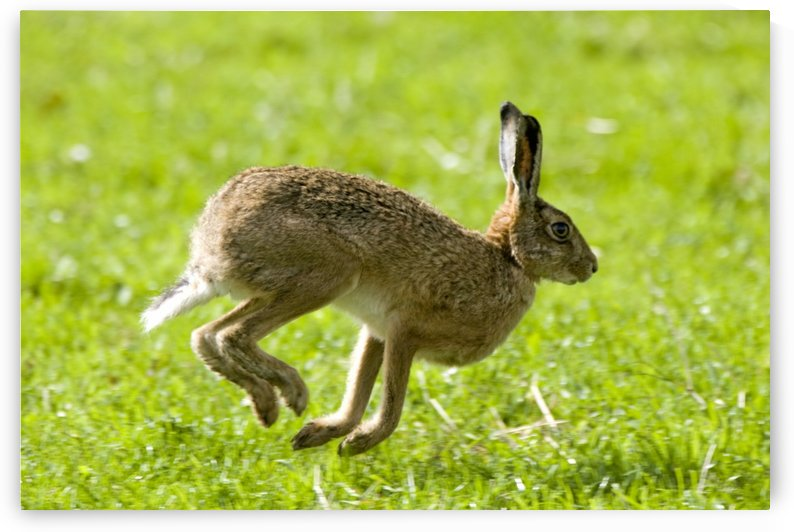 Hare Hopping In The Grass by PacificStock