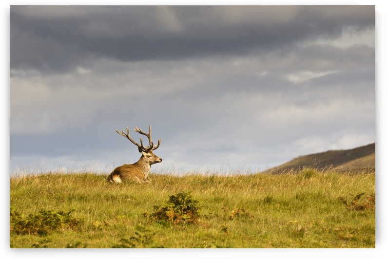 Island Of Islay, Scotland; Buck Resting On A Hill by PacificStock