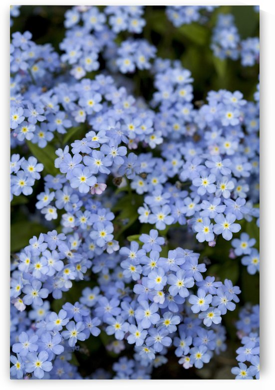 Victoria, British Columbia, Canada; Blooming Blue Flowers by PacificStock