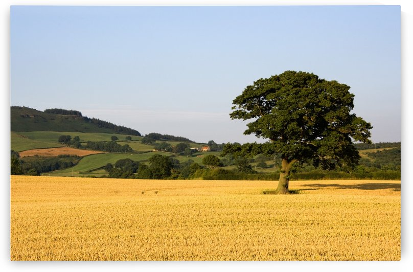 Tree In A Golden Field Of Grain, North Yorkshire, England by PacificStock