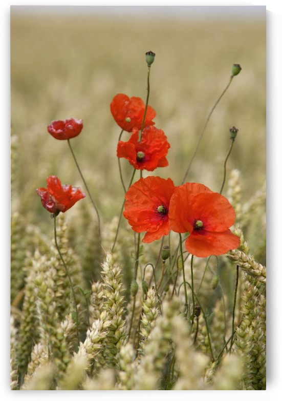 Wildflowers; Poppies In A Grain Field by PacificStock