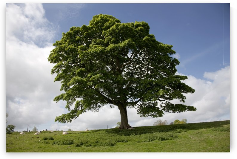 Tree; Northumberland, England by PacificStock