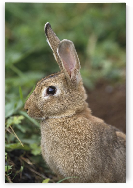 Hare, Ireland by PacificStock