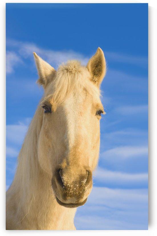 White Horse; Minnesota, Usa by PacificStock