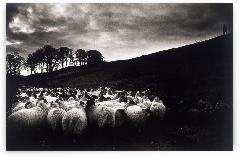 Sheep; Ireland by PacificStock