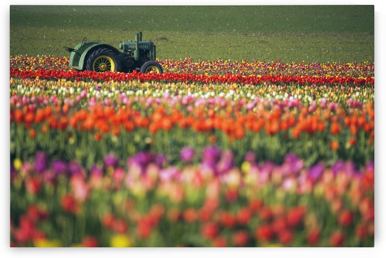 Tractor In Tulip Field by PacificStock
