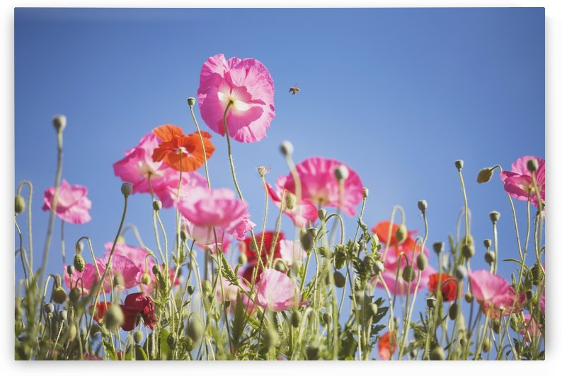 Pink Flowers Against Blue Sky by PacificStock