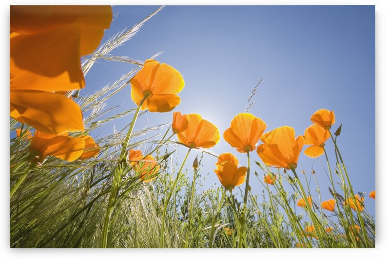 Orange Poppies by PacificStock