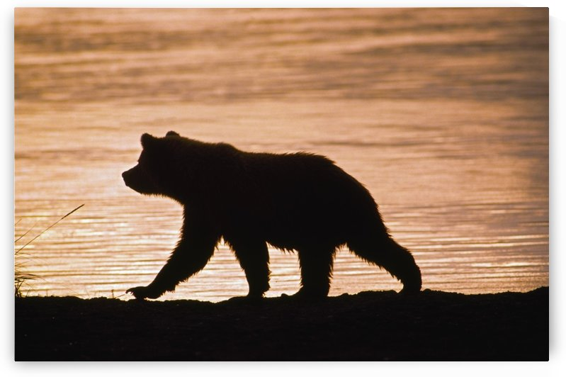 Young Grizzly Bear (Ursus Arctos) Walks Along Edge Of Lake At Sunset by PacificStock