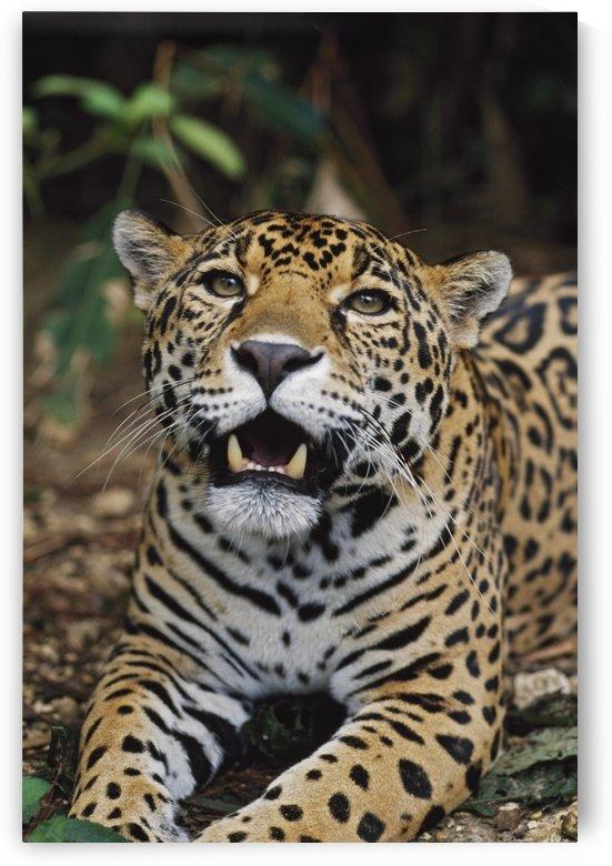 Jaguar (Panthera Onca); Belize by PacificStock