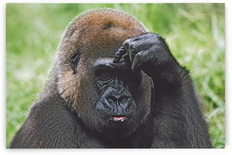 Western Gorilla Portrait With Finger On Brow As If Thinking, Africa by PacificStock