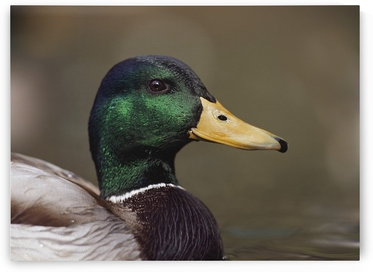 Mallard Drake Head Portrait by PacificStock