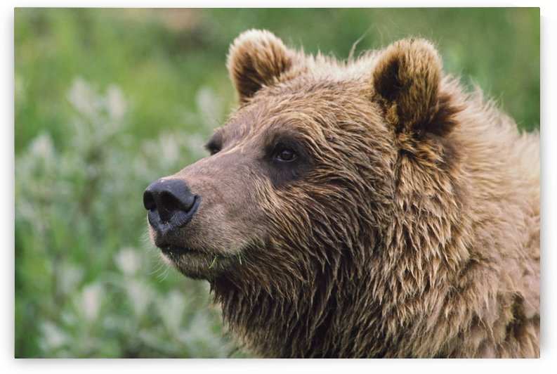 Grizzly Bear Portrait; Denali National Park And Preserve, Alaska, Usa by PacificStock
