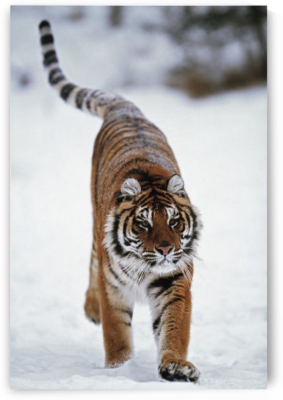 Siberian Tiger In Snow by PacificStock