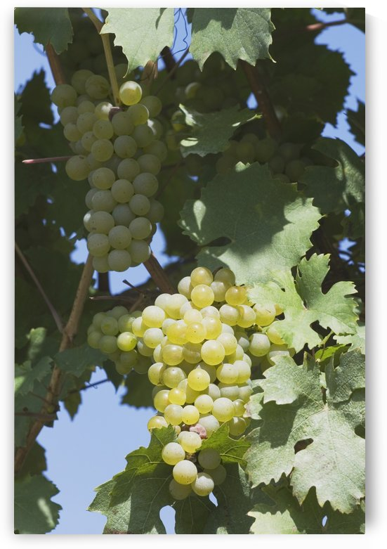 White Grapes On The Vine by PacificStock