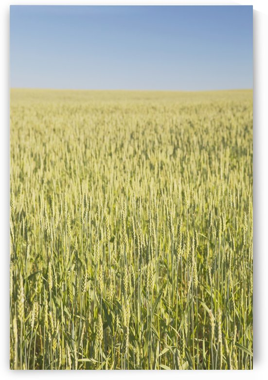 Green Wheat Field, Alberta, Canada by PacificStock