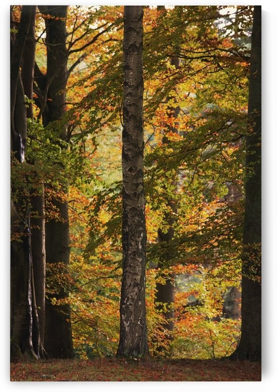 Autumn Woods, Northumberland, England by PacificStock