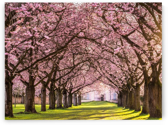 Cherry Blossom in a Park by Andreas Wonisch