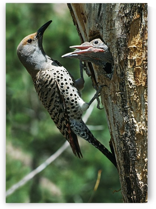 Female Northern Flicker (Colaptes Auratus) Greeted By Young In Nest In The Cavity Of A Tree; New Mexico, Usa by PacificStock