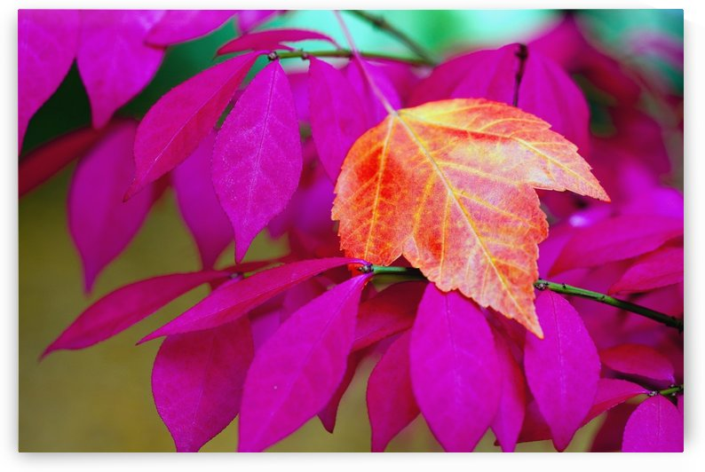 Oregon, United States Of America; A Red Leaf Laying On Bright Pink Leaves by PacificStock