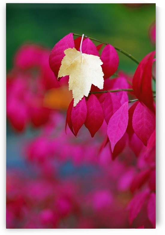 Oregon, United States Of America; A Yellow Leaf Fallen On Pink Leaves by PacificStock