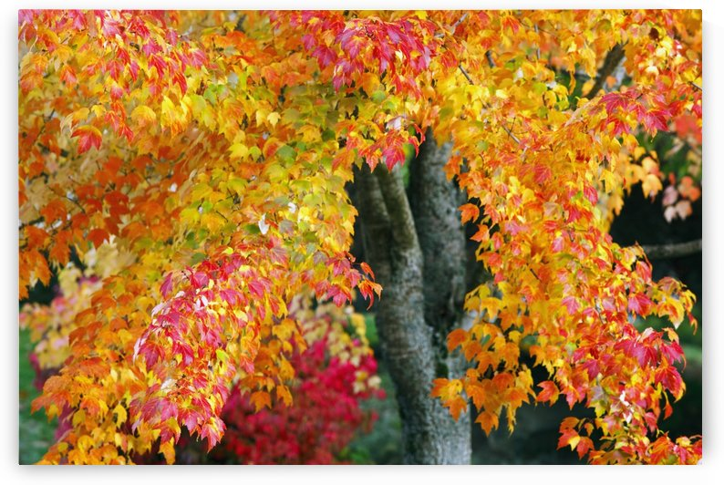 Oregon, United States Of America; Red And Yellow Leaves On A Tree In Autumn by PacificStock