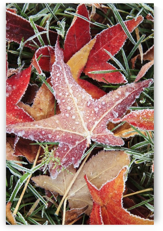 Fall Colored Leaves Covered In Frost by PacificStock