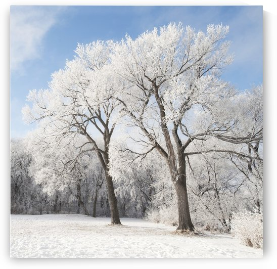 Winnipeg, Manitoba, Canada; Snow On The Ground And Trees by PacificStock