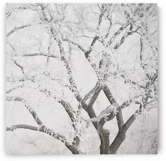 Winnipeg, Manitoba, Canada; Tree Branches Covered In Snow by PacificStock