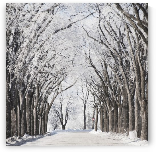 Winnipeg, Manitoba, Canada; A Road And Trees Covered In Snow In Winter by PacificStock