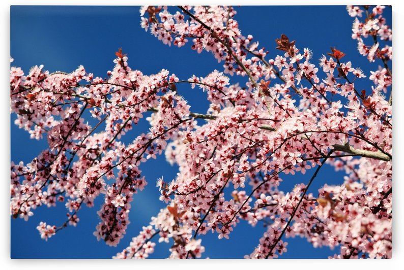 Oregon, United States Of America; Cherry Blossoms On A Tree In Spring by PacificStock