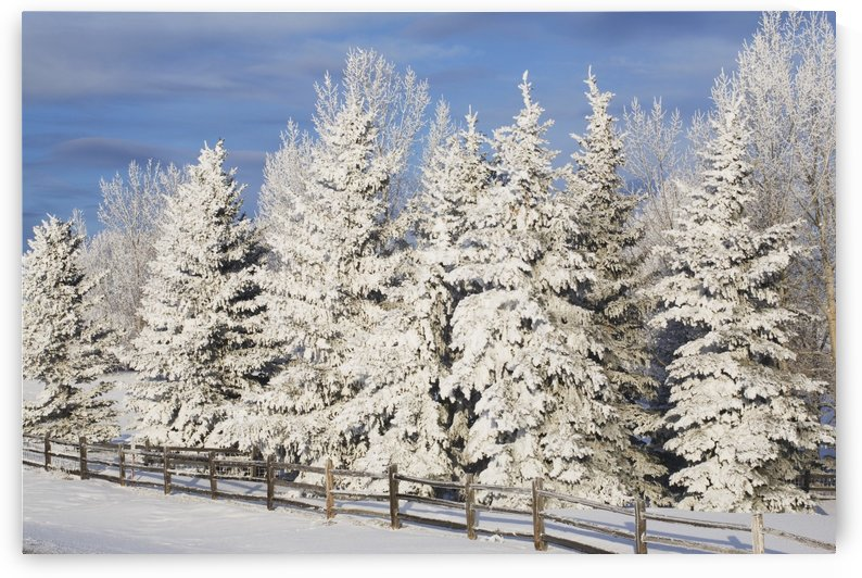 Calgary, Alberta, Canada; Snow Covered Evergreen Trees And A Wooden Fence by PacificStock
